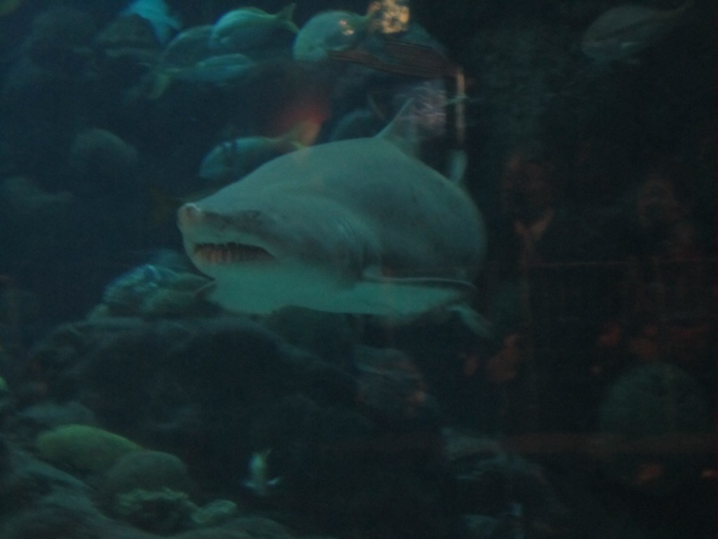 Shark in the Tampa Aquarium